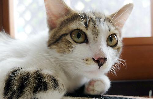 飼い始めた我が家の子ネコ、名前はモカ